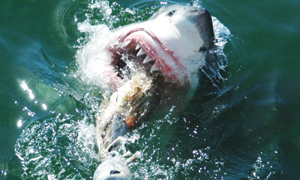 17.  Shark Cage Diving - Gansbaai, Western Cape